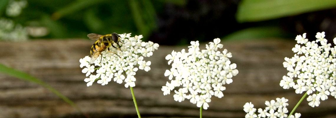 Wildlife garden with white flowers and bee
